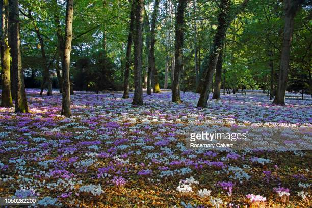Carpet of pink & white cyclamen on forest floor.