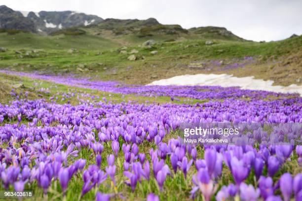 Carpet of purple crocuses