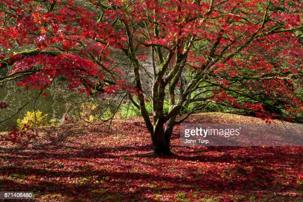 Carpet of red Autumn leaves at Stourhead Gardens, Wiltshire