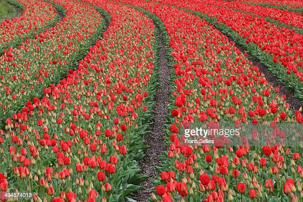 carpet of red tulips - frans sellies stock pictures, royalty-free photos & images