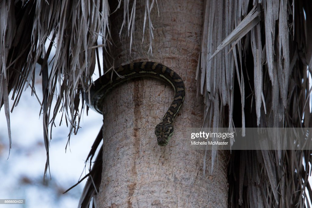 Carpet Python Eats A Possum In Backyard of Suburban Australian Home : News Photo