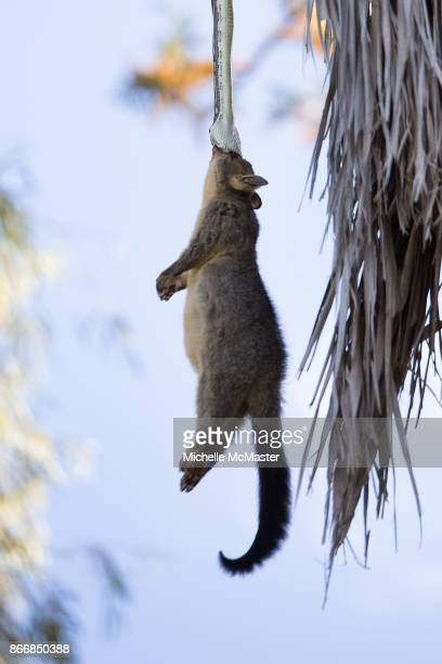 A carpet python is seen lifting a possum into a tree on October 22 2017 in Brisbane Australia The incident happened in the backyard of Michelle's...