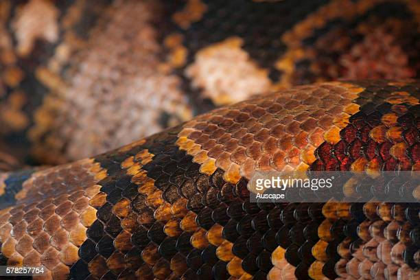 Carpet python Morelia spilota skin close up Queensland Australia