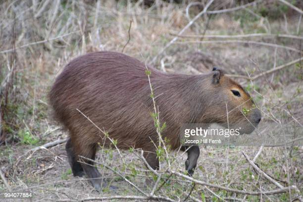 carpincho - capybara stock pictures, royalty-free photos & images