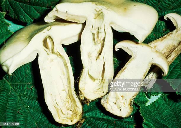 Carpophores inside a mushroom stem