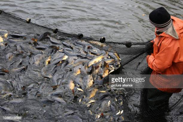 Carps are being harvested at the fishery Mueritz-Plau, to be placed into containers before the end-of-year sale in Boek, Germany, 8 November 2016. Up...