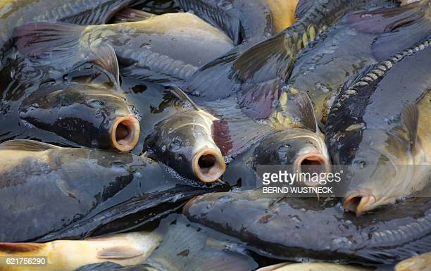 Carps are pictured after the fish harvest of the Müritz-Plau fishing company in Boek, northeastern Germany, on November 8, 2016. The company expects...