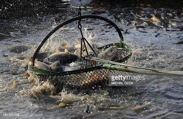 Carps are regrouped after being caught in nets on November 7 during the annual carp fishing season at the Bosilecky pond beside the Bosilec village...