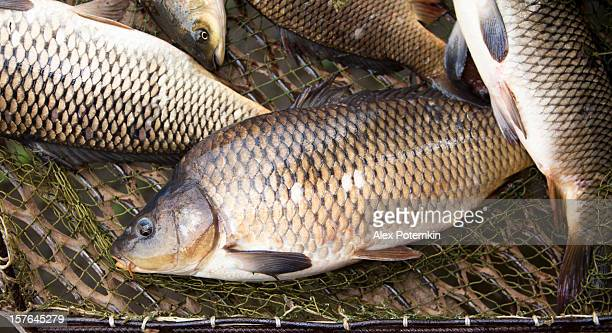 carps in the landing net: fishing farm - carp stock photos and pictures