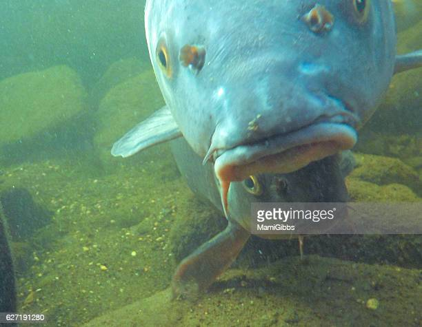 carps in the water world - mamigibbs stock photos and pictures