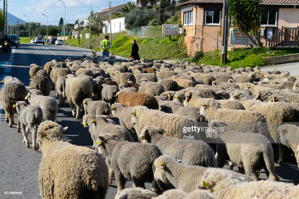 Herd of sheep transhumance. Herd on the road.