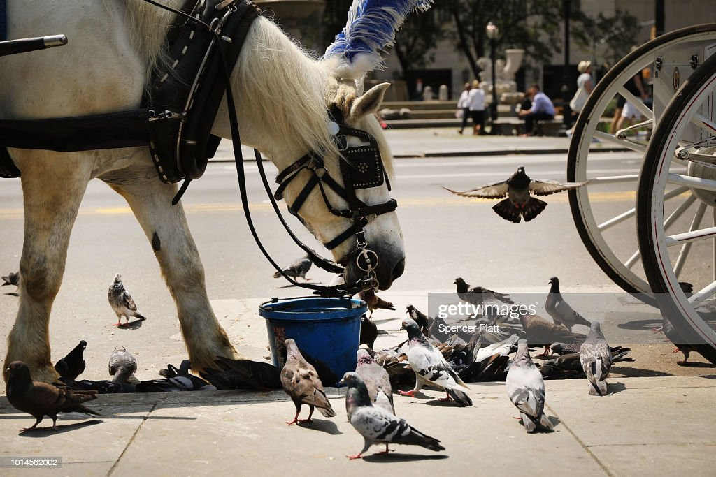 A carriage horse eats by Central Park moments before all drivers were ordered to return to the stables due to heat on August 10, 2018 in New York City. According to New York City administrative code, all carriage horses used in tourism must immediately stop working and return to their stables when the temperature reaches 90 degrees. Animal rights activists, who want to permanently end the carriage horse business in the city, say many drivers ignore the law or linger in the park looking for customers long after an alert has been issued.