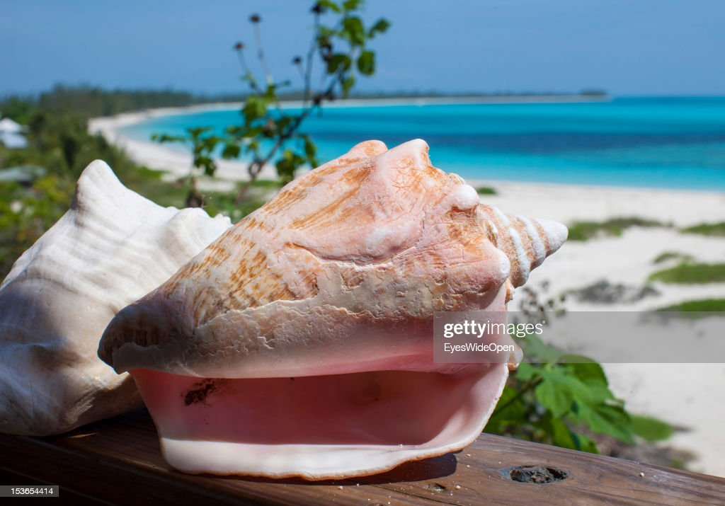 Carribean feeling - close up of a typical bahamian conch shell, an ocean mollusk at Shannas Cove Beach on June 15, 2012 in Cat Island, The Bahamas.