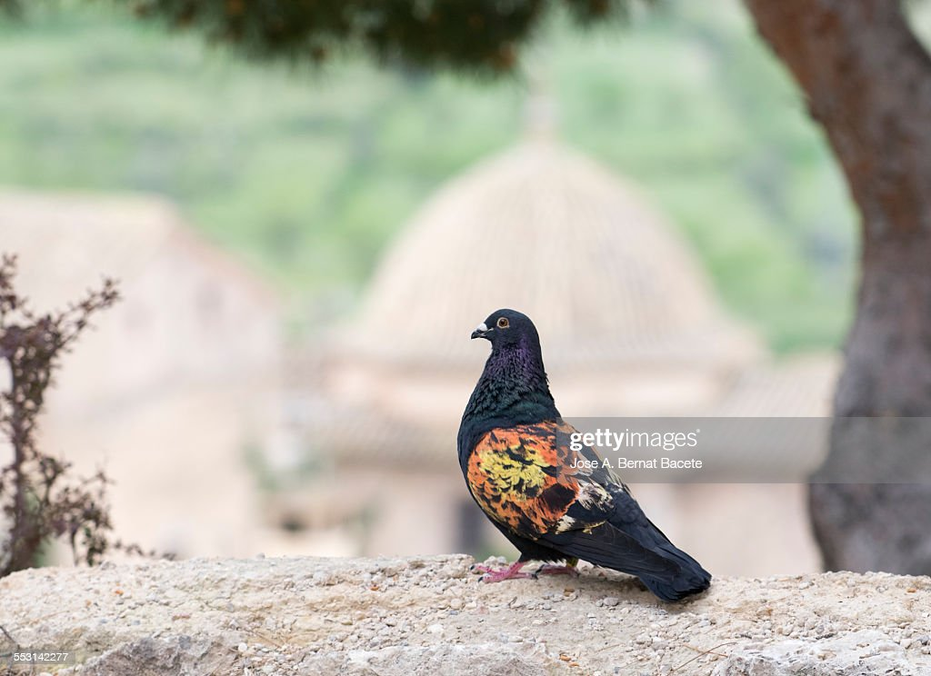 Carrier pigeon of competition : Stock-Foto