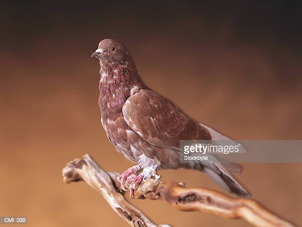 Carrier pigeon, with message attached to leg, perched on branch