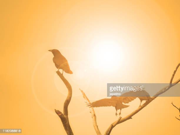 carrion crow (corvus corone) at dawn - dead crow stock pictures, royalty-free photos & images
