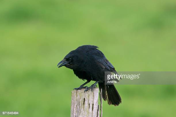 Carrion crow calling from wooden fence post along field