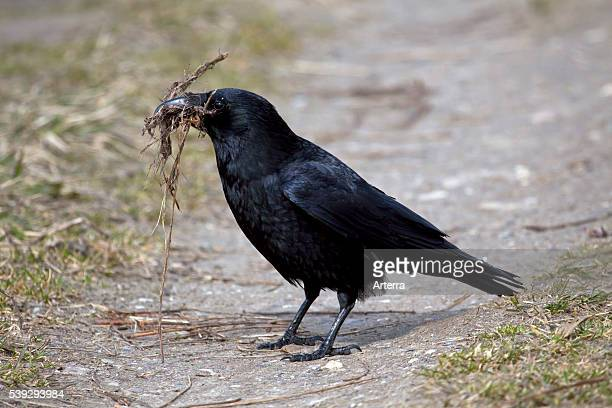 Carrion crow collecting nesting material in beak on the ground Germany