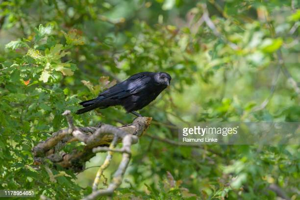 carrion crow, corvus corone - dead raven stock photos and pictures