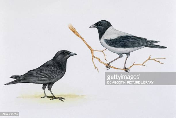 Carrion Crow e Hooded Crow Corvidae drawing