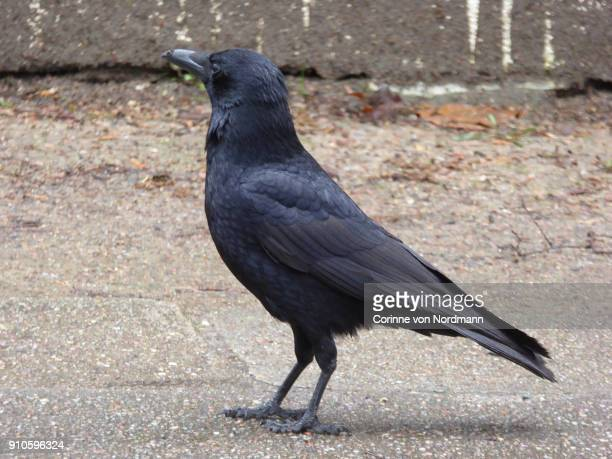 carrion crow foraging in street - corvus corone - crow bird stock photos and pictures