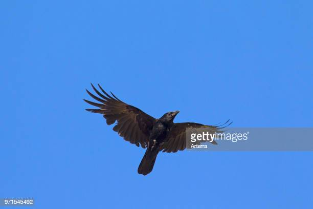 Carrion crow in flight against blue sky