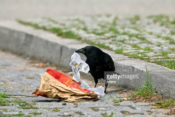 Carrion crow looking for food in garbage on street Germany
