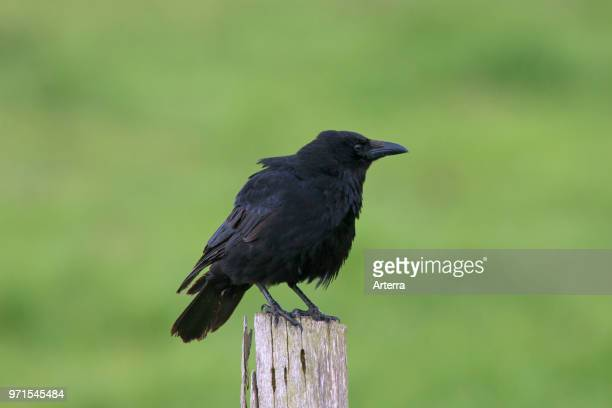 Carrion crow perched on wooden fence post along field