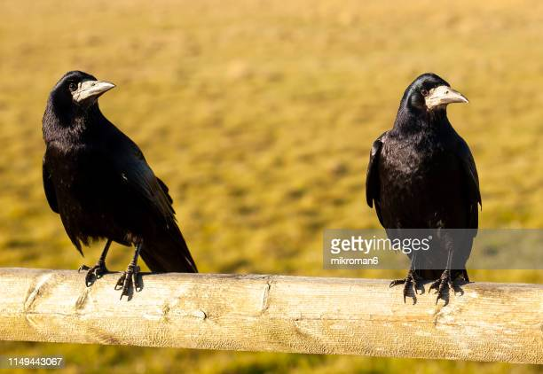 carrion crow (corvus corone) - dead raven stock photos and pictures