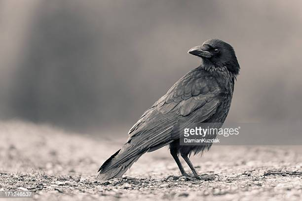 carrion crow - crow bird stock photos and pictures