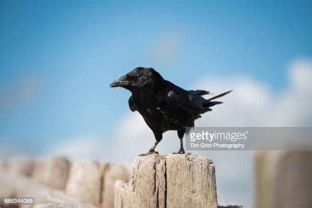 carrion crow (corvus corone) - dead crow stock pictures, royalty-free photos & images