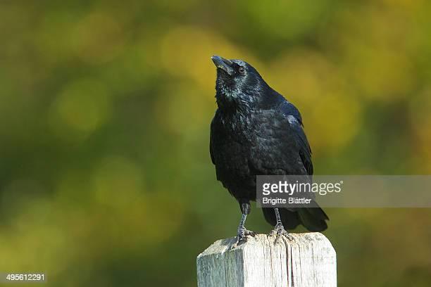 Carrion Crow (Corvus corone) Rabenkraehe