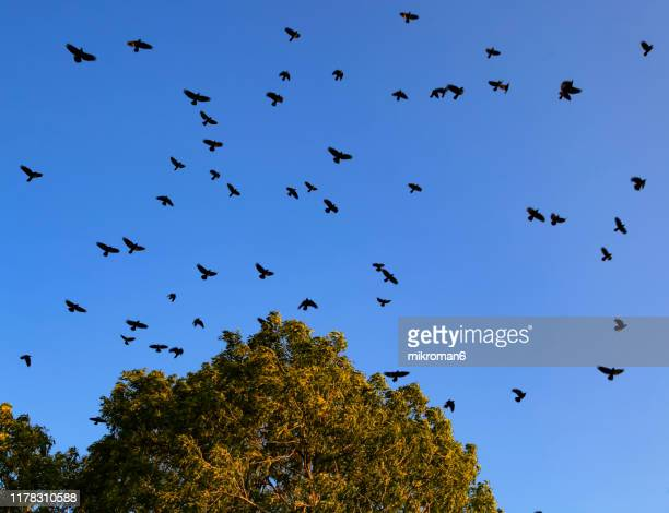 carrion crows in the blue sky (corvus corone) - dead raven stock photos and pictures