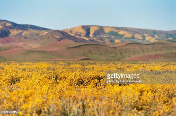 Carrizo Plain Super Bloom