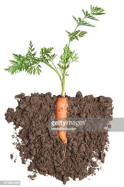 carrot plant in soil - carrot stock pictures, royalty-free photos & images