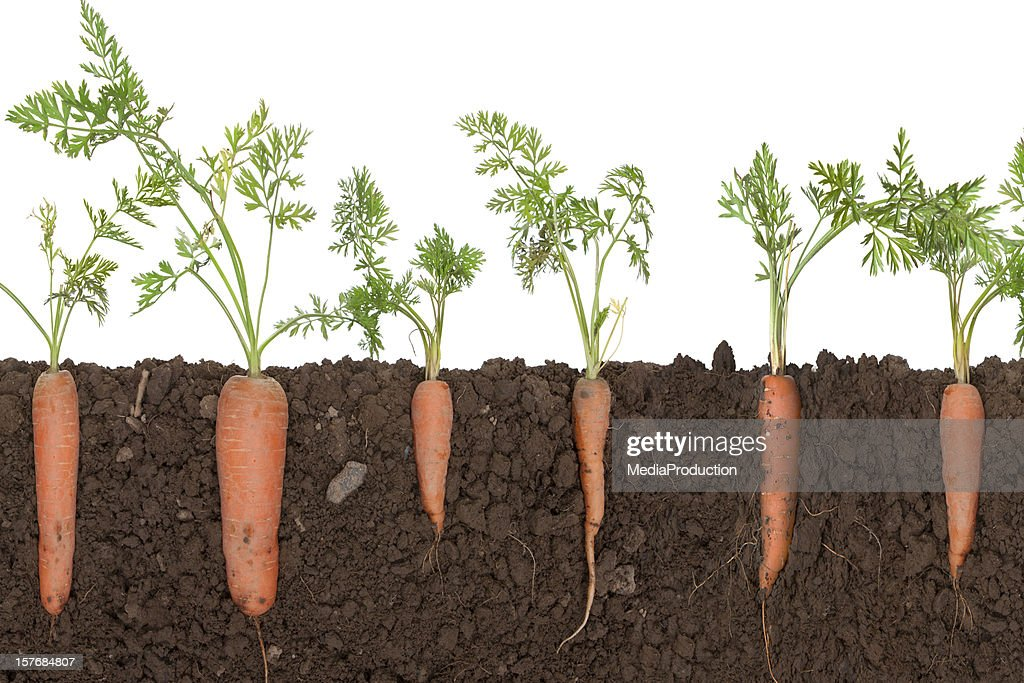 carrot pflanze im boden stockfoto getty images