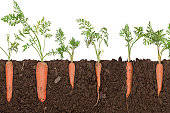 Carrot plant in soil