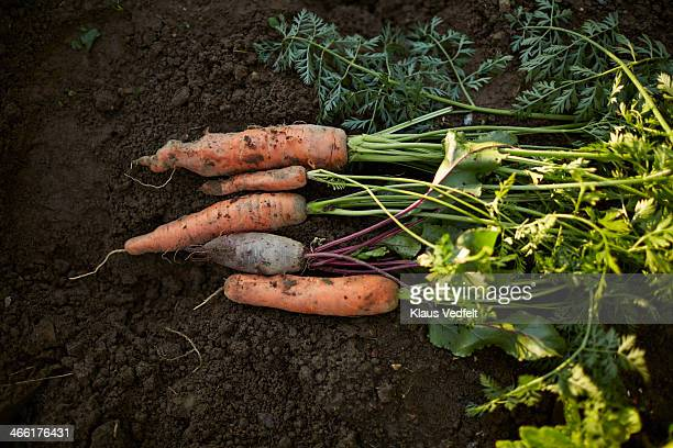 Carrots & beetroot picked up from vegetable garden
