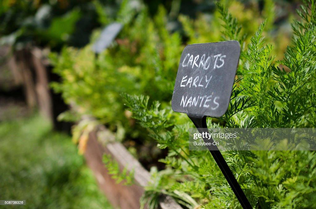 Carrots Early Nantes : Stock Photo