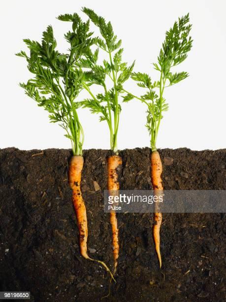 Carrots in dirt.
