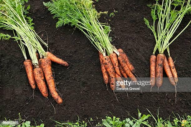 carrots on a field - stefanie grewel stock-fotos und bilder