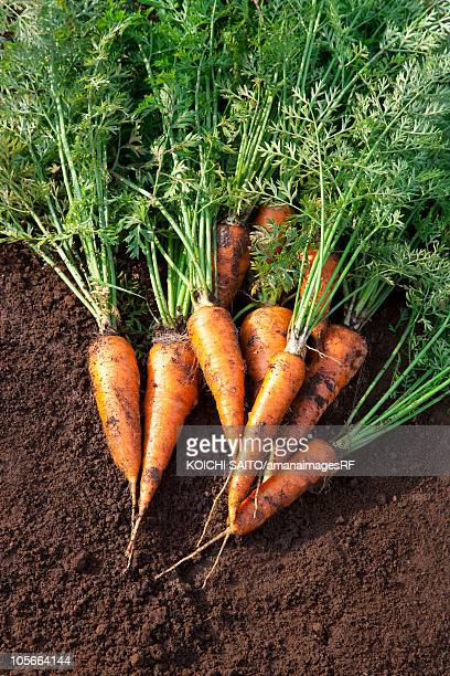 Carrots on dirt