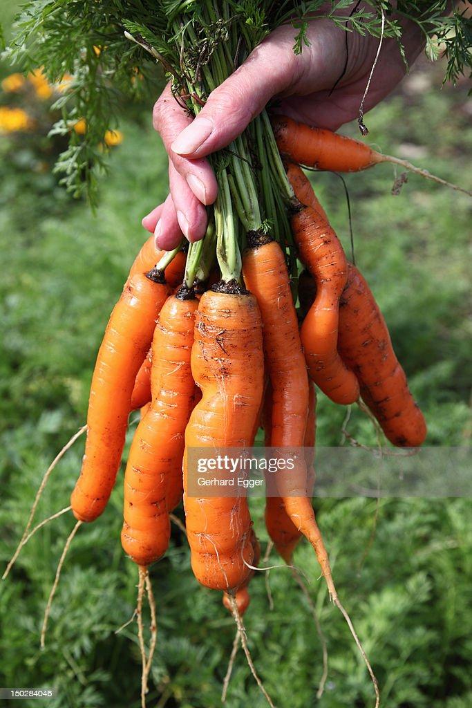 Carrots : Foto de stock