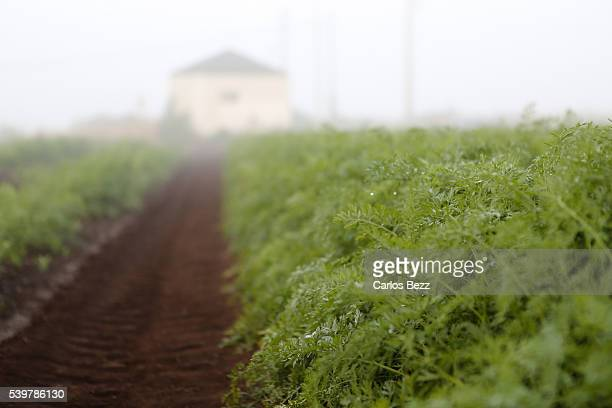 carrots plantation