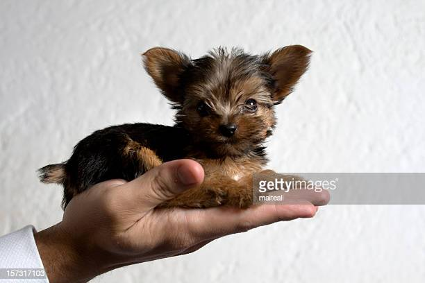 carry on a hand - yorkshire terrier stock pictures, royalty-free photos & images
