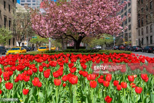 cars run through at both side of red tulips blooming in the safe zone in front of cherry blossoms tree at uptown manhattan new york usa on apr. 29 2018. - パークアベニュー ストックフォトと画像