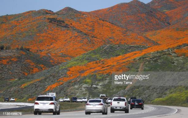 Cars travel on I15 as a 'super bloom' of wild poppies blankets the hills of Walker Canyon on March 12 2019 near Lake Elsinore California Heavier than...