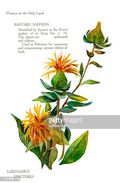 Carthamus Tinctoria mentioned in Songs of Solomon Chapter IV verse 14 'The plants are spikenard and saffron'