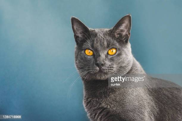 chartreux cat portrait - pure bred cat stock pictures, royalty-free photos & images