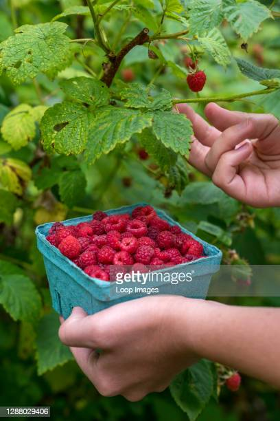 Carton full of fresh picked raspberries is picked in the US.